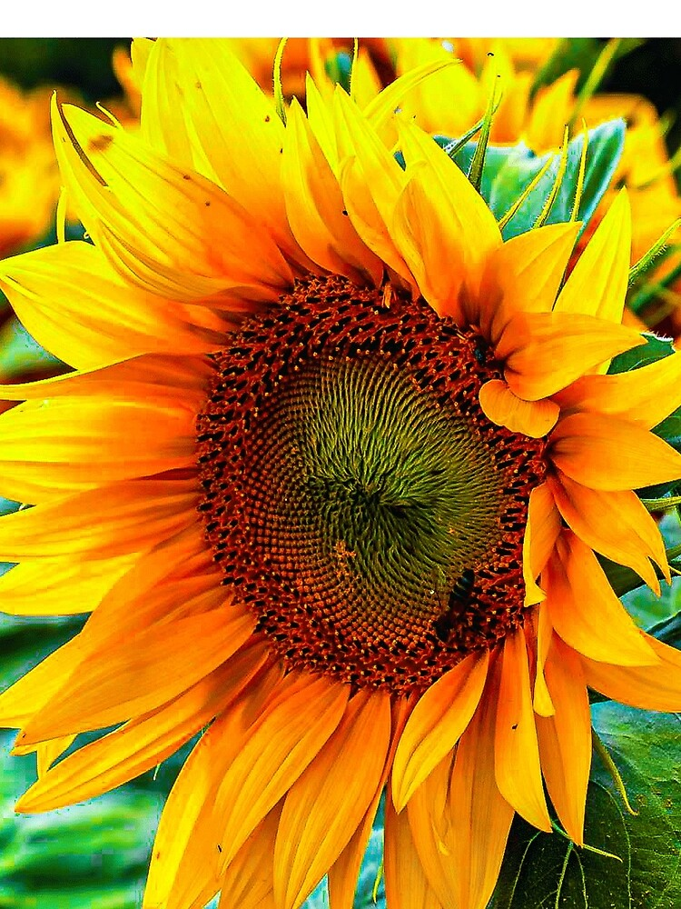 yellow flower blooming sunflower by Hujer