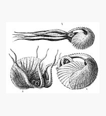 Vintage Natural History Mollusca Illustration Photographic Print