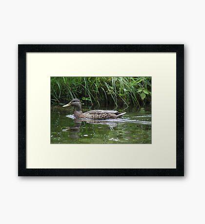 Swimming Duck Framed Print