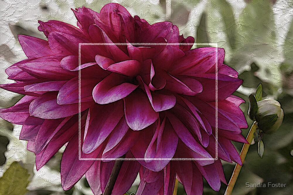 Pink Dahlia With Lacy Frame by Sandra Foster