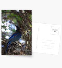 Stellar Jay Postcards