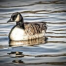 Canadian Goose by Robin Black