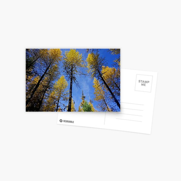 Larches in the Fall Postcard