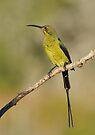 Sunbird by Macky