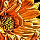 Orange Daisy by Robin Black