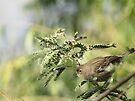 Yellow-rumped Warbler ~Female Audubon's by Kimberly Chadwick