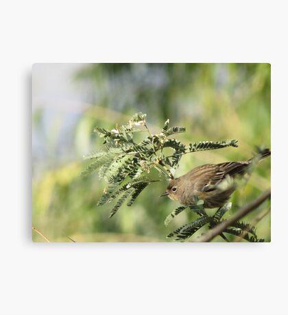 Yellow-rumped Warbler ~Female Audubon's Canvas Print