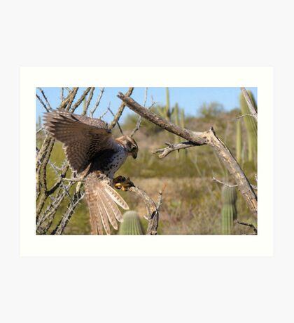 Prairie Falcon (Captive) ~ Landing Art Print
