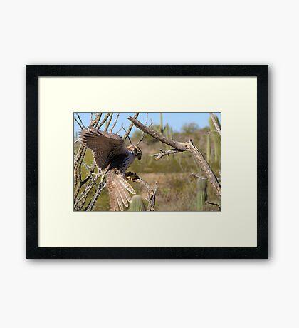 Prairie Falcon (Captive) ~ Landing Framed Print