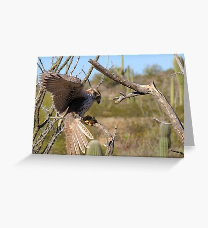 Prairie Falcon (Captive) ~ Landing Greeting Card