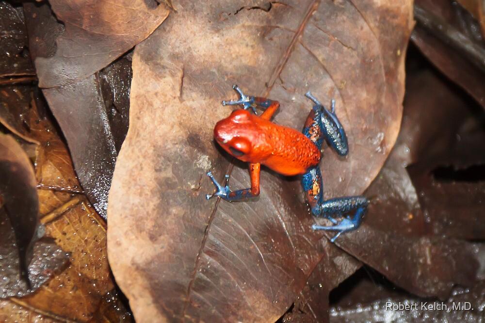 Blue Jeans Dart Frog by Robert Kelch, M.D.