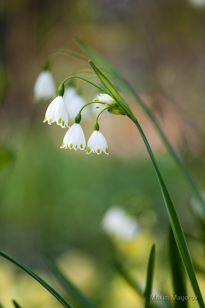 Lily of the walley by Maxim Mayorov