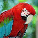 Scarlet Macaw - Singapore. (2) by Ralph de Zilva