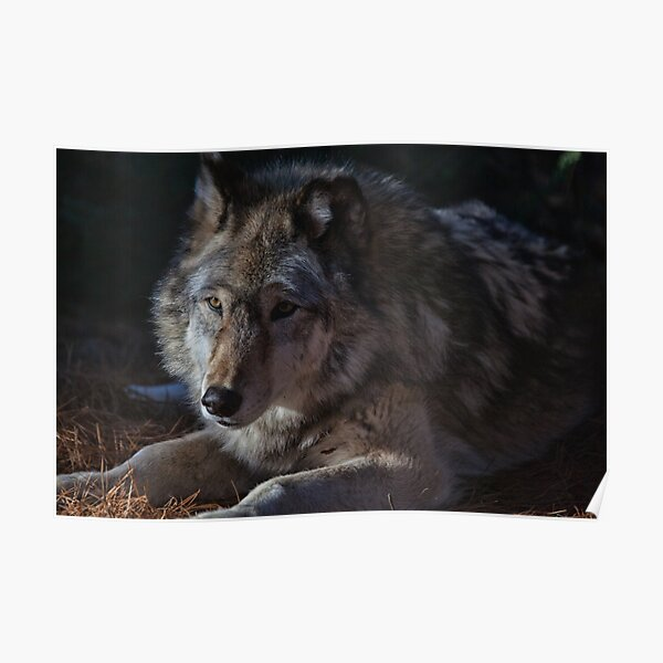 Colors of a Wolf Poster