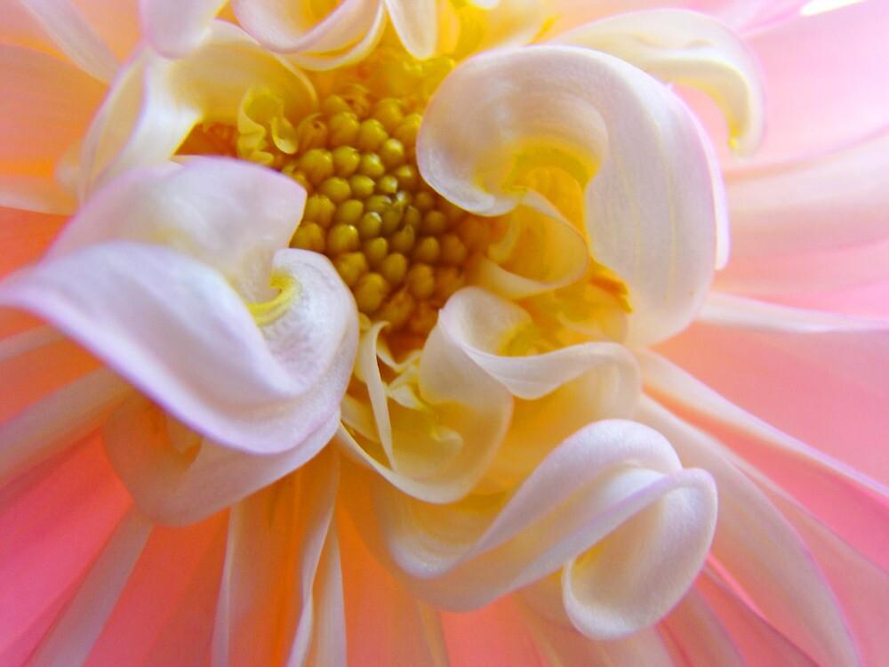 Dahlia Floral art prints Pink White Dahlias by BasleeArtPrints