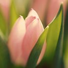 Tulips by lorrainem
