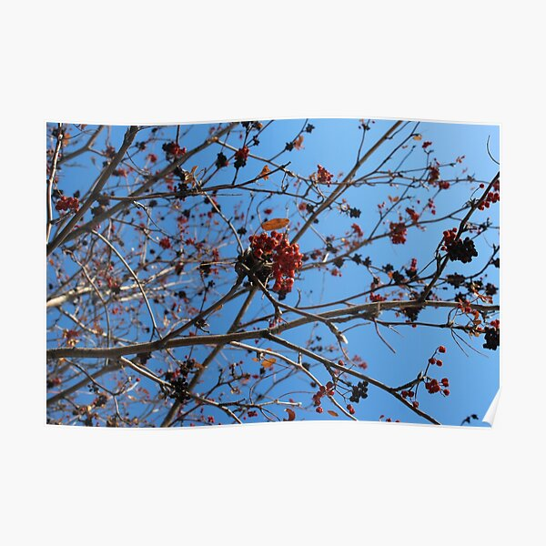 Berries in Winter Poster