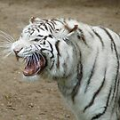 White Tiger by Colleen Drew