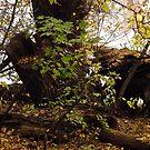 Fallen Tree by Shulie1