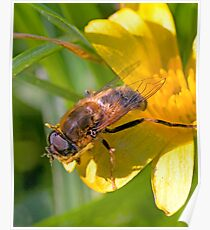 Drone-fly on a Lesser Celandine Poster