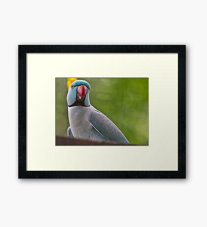 Indian Ring Necked Parakeet Framed Print
