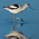 American Avocet by Michael Mill