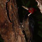 Pale-billed Woodpecker by naturalnomad