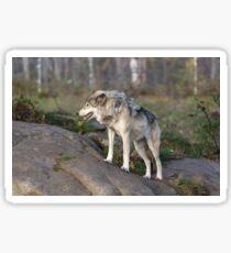 A lone timber wolf  Sticker