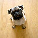 Pug puppy by BANDERUS MARTIN