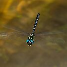 Sigma Darner, Goomburra National Park by Robert Ashdown