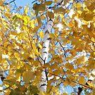Birch in Fall by Mellinda