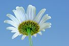 The Other Side of a Daisy by barnsis
