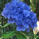 Blue Hydrangea by Pat Yager