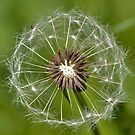 Dandelion Head by dgbimages