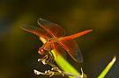 Orange Dragonfly by photosbyflood