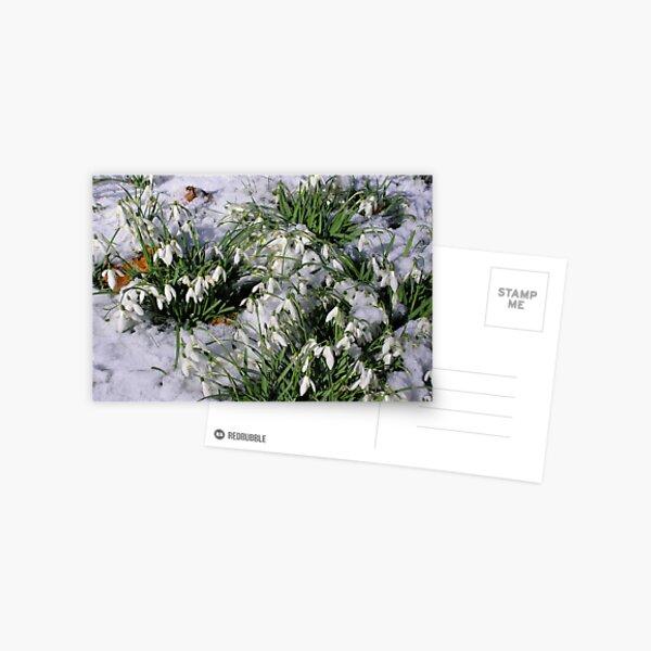 Snowdrops in snow. Postcard