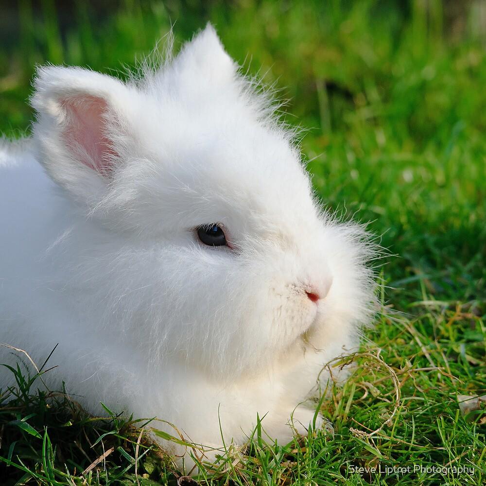 Angora Rabbit by Stephen Liptrot