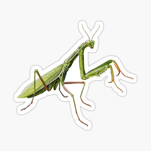 Praying Mantis Sticker
