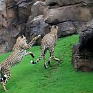CHEETAS IN ACTION by Margaret  Shark