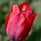 First tulip of the season by Celeste Mookherjee