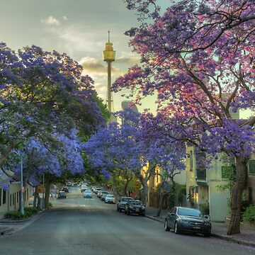 Jacarandas in Bloom by RodKashubin