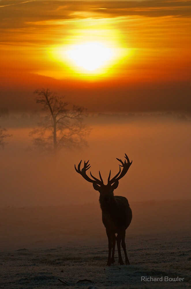 Stag sunrise 1 by Richard Bowler