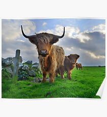 Cornwall: Heiland Coo's on the Cornish Coast Poster
