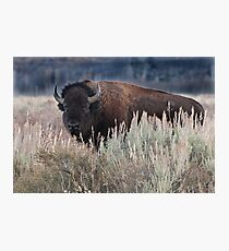 Lámina fotográfica Lone Bison