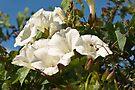Plant, Wild flower, Hedge bind weed, White Flowers by Hugh McKean