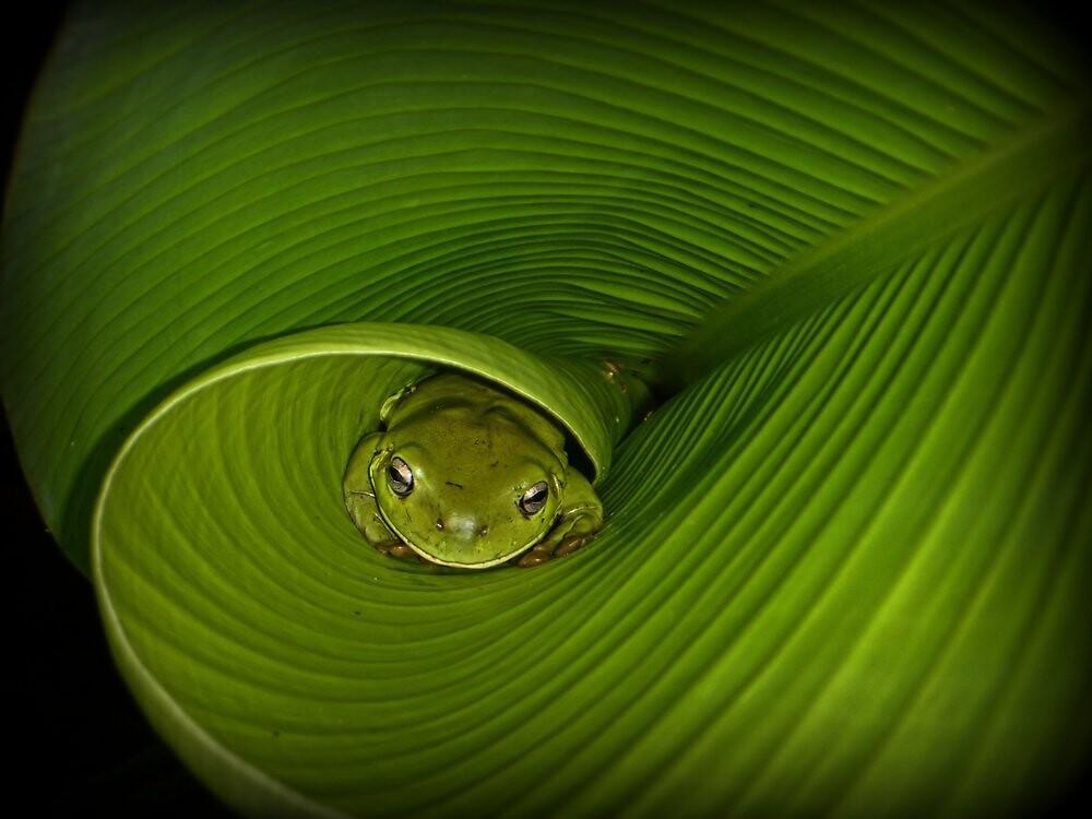 Frog in banana leaf by Trevor Farrell
