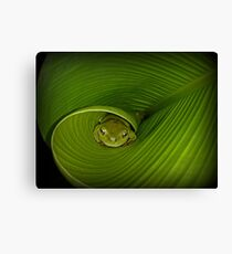 Frog in banana leaf Canvas Print