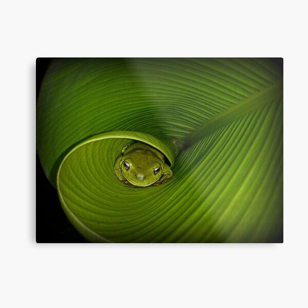 Frog in banana leaf Metal Print