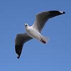 seagull by Paul Sparrow