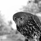 owl by Paul Sparrow